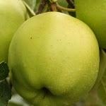 Golden Delicious Reinders Klon B яблоня