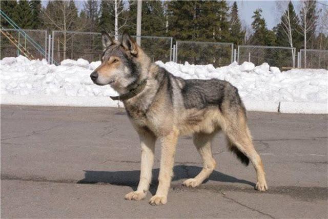 Volkosoby được lai từ giống chó sói vùng biển Caspi