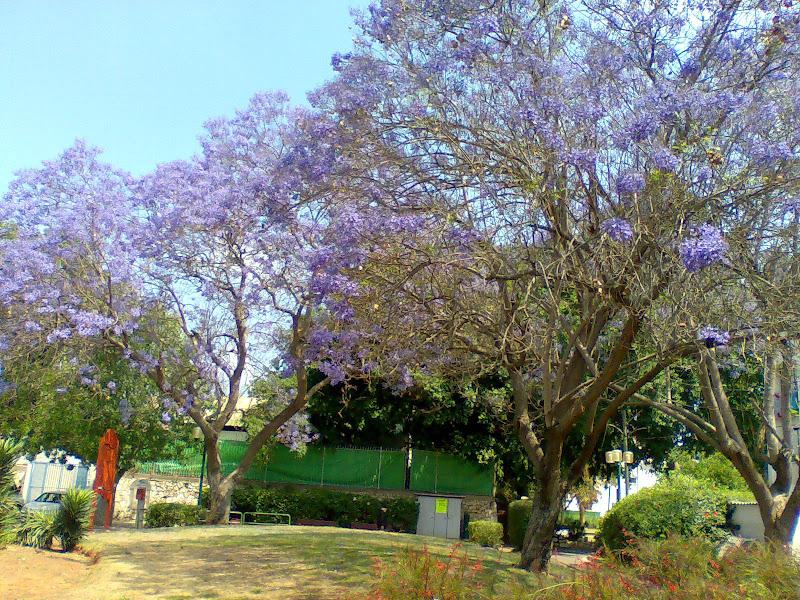 Цветущие деревья Израиля