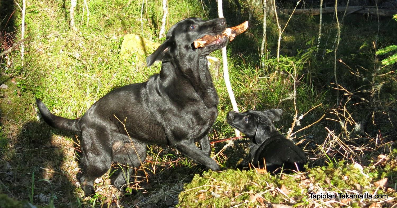 labradorinnooutajat taistelevat maastossa