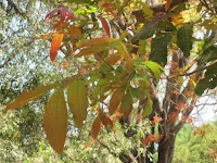 https://lh5.googleusercontent.com/-Qpw0-tlDa14/T2_wSBqduFI/AAAAAAAAABU/ciBsN_1z-vw/s1600/Kusum+Tree+-+0018.jpg