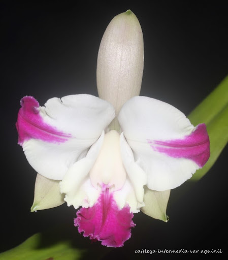Cattleya intermedia var aquinii IMG_0994b%2520%2528Medium%2529