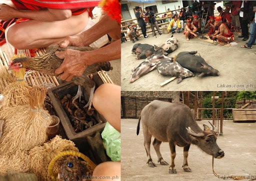 Chicken, Pig, Carabao (Water Buffalo) to be Sacrificed