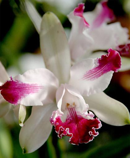 Растения из Тюмени. Краткий обзор - Страница 2 C_intermedia_vinicolor_2