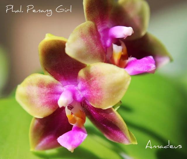 Phalaenopsis Penang Girl IMG_1863