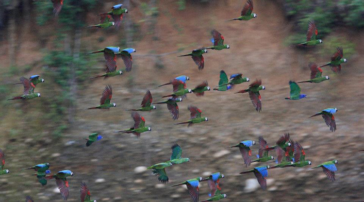 Flock of Chestnut fronted macaws