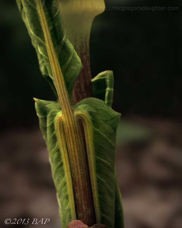 Photo of the Week: Arisaema triphyllum
