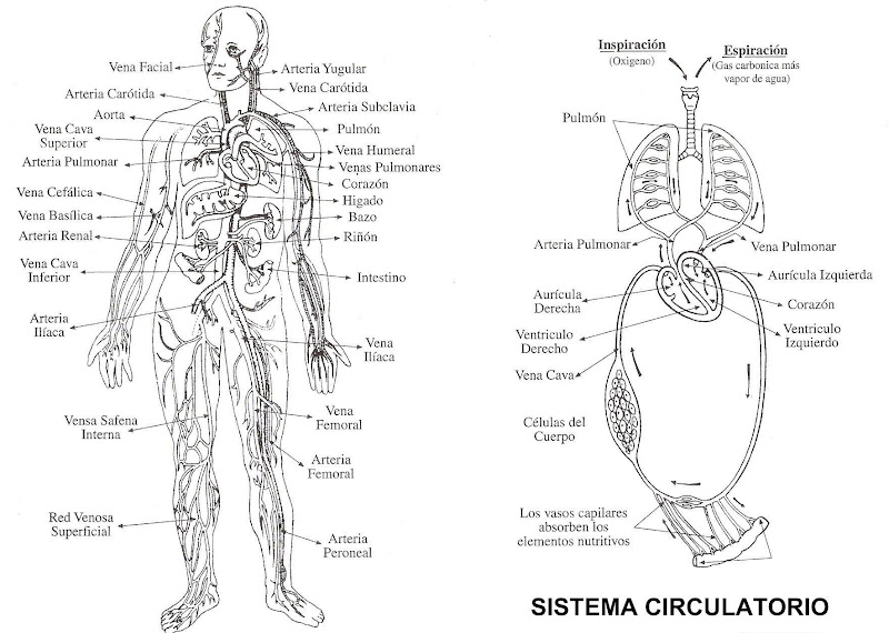 為孩子們的著色頁 Sistema Circulatorio Para Colorear