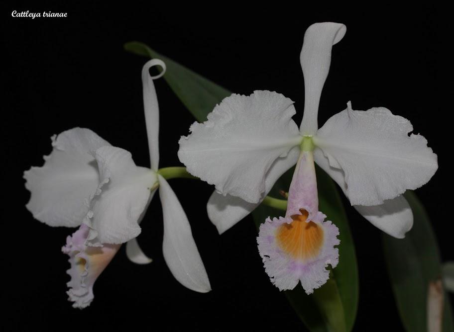 Cattleya trianae  IMG_7833b%2520%2528Large%2529