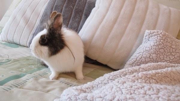 Gaufrette, lapine tricolore-[adoptée] Gaufrette3-fa83f
