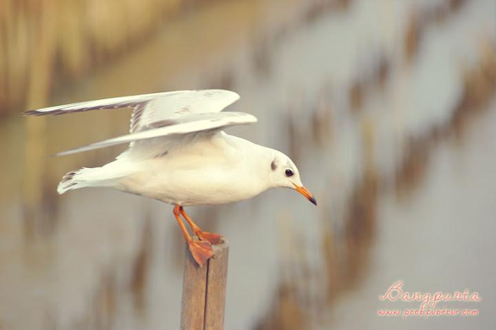นกนางนวล บางปู