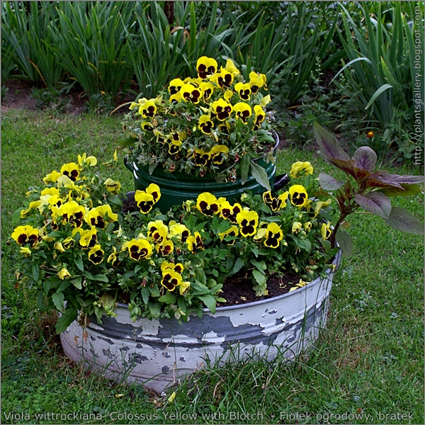 Viola wittrockiana 'Colossus Yellow with Blotch' - Fiołek ogrodowy, bratek przykład wykorzystania w ogrodowej zieleni