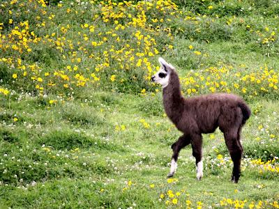 Llama in Cuzco Peru