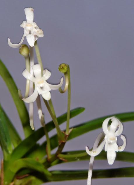 Neofinetia falcata P1430889