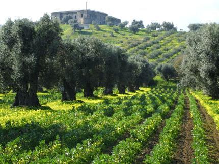Oliven-Plantage in Kalabrien, Süd-Italien
