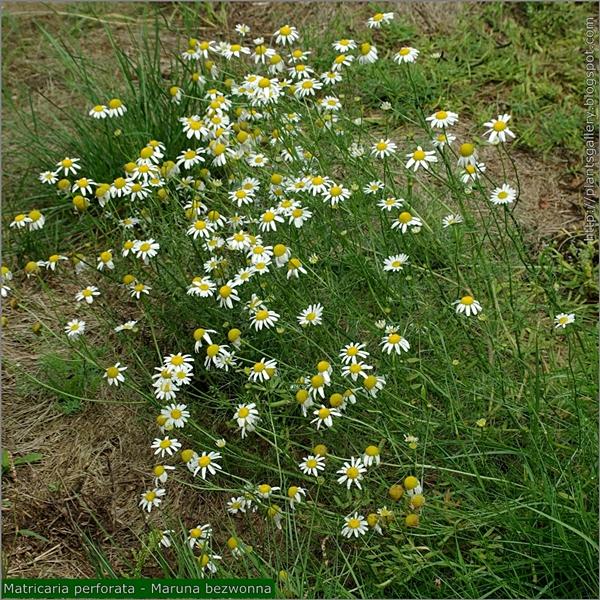 Tripleurospermum inodorum syn. Matricaria perforata habit - Maruna bezwonna pokrój