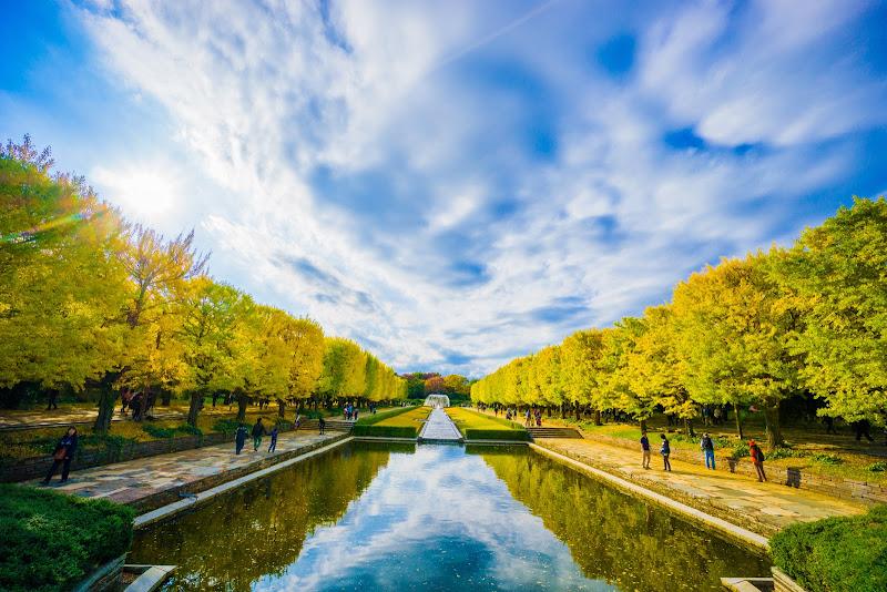 昭和記念公園 カナール イチョウ並木 写真5