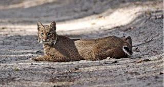 [Resim: serval.jpg]