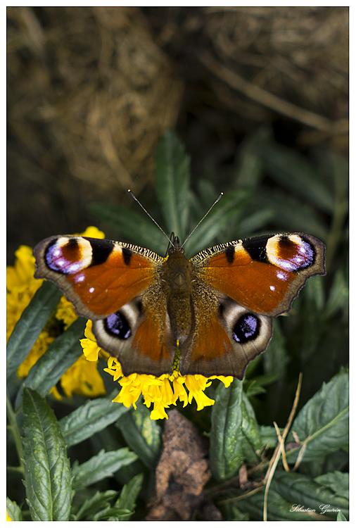 Papillon au 35mm SEBY4703