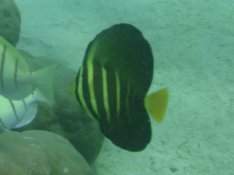 Zebrasoma veliferum (Sailfin Tang), Rarotonga.