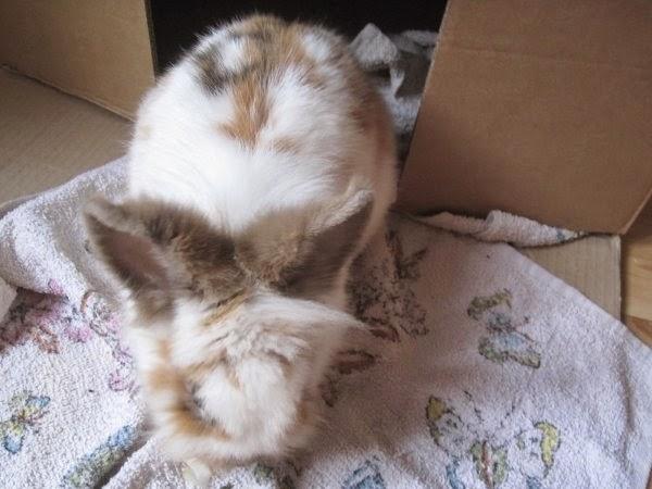 Shota, lapin blanc et marron-[adopté] Shota-d09b3