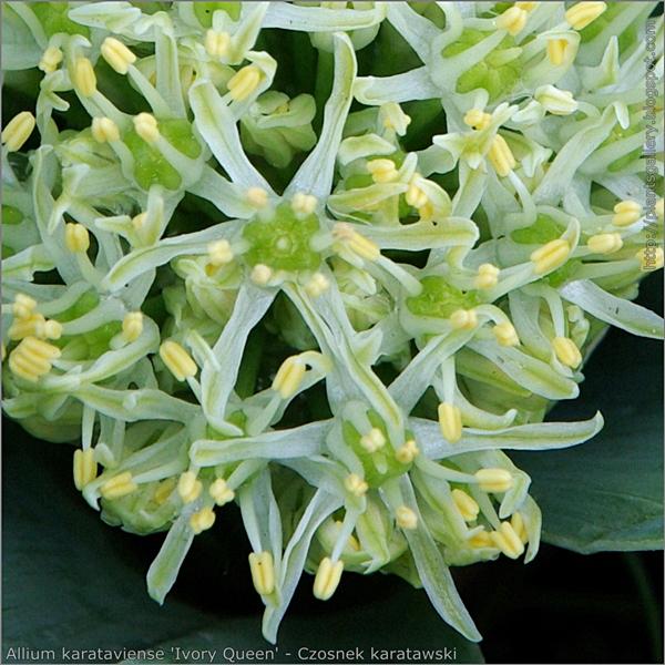 Allium  karataviense 'Ivory Queen' flowers - Czosnek karatawski kwiaty