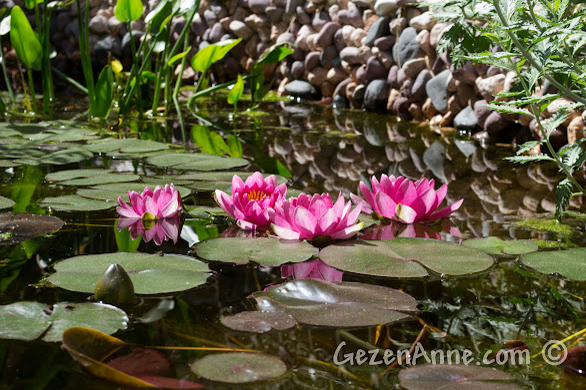 Cunda, Ziya Bey Konağı'nda bahçedeki süs havuzunda açmış nilüferler