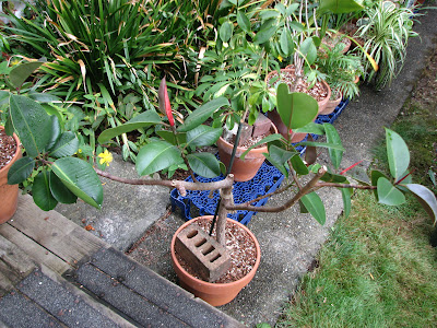 Ficus Trees In Containers