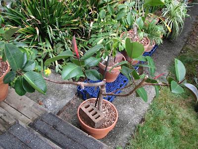 Ideas About Fig Leaf Tree On Pinterest Fiddle Tree