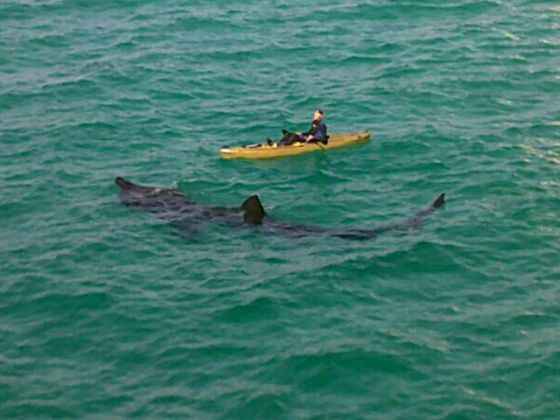 Henings With Dom And Nan Rare Shark Spotted Off Panama City Beach