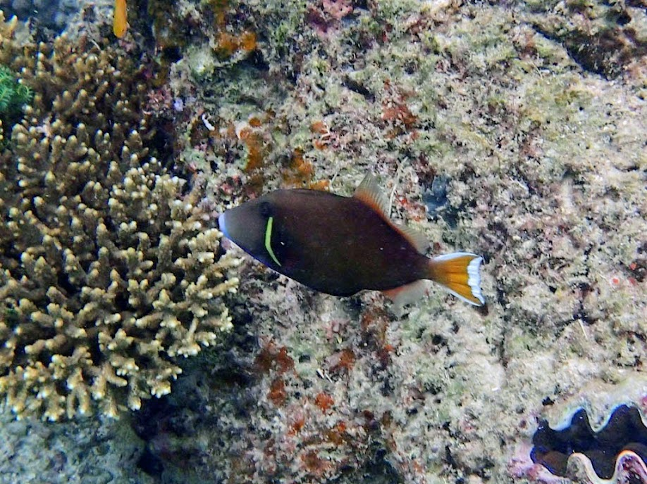 Sufflamen chrysopterus (Flagtail Triggerfish), Miniloc Island Resort reef, Palawan, Philippines.