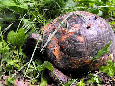 o broască ţestoasă cu musafiri pe cască