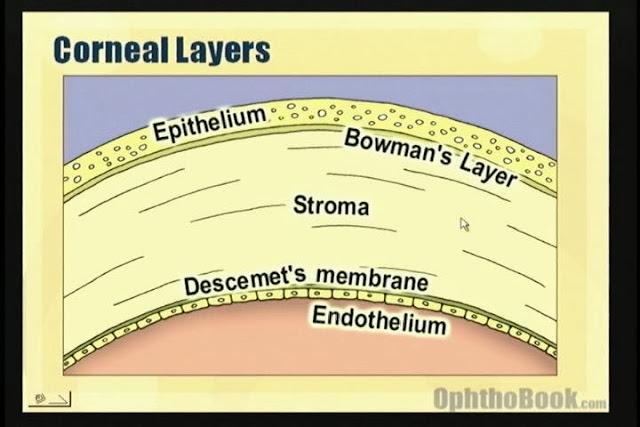 角膜(cornea)