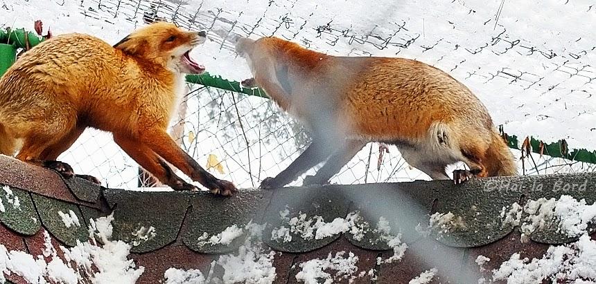 lupta intre vulpi zoo piatra neamt