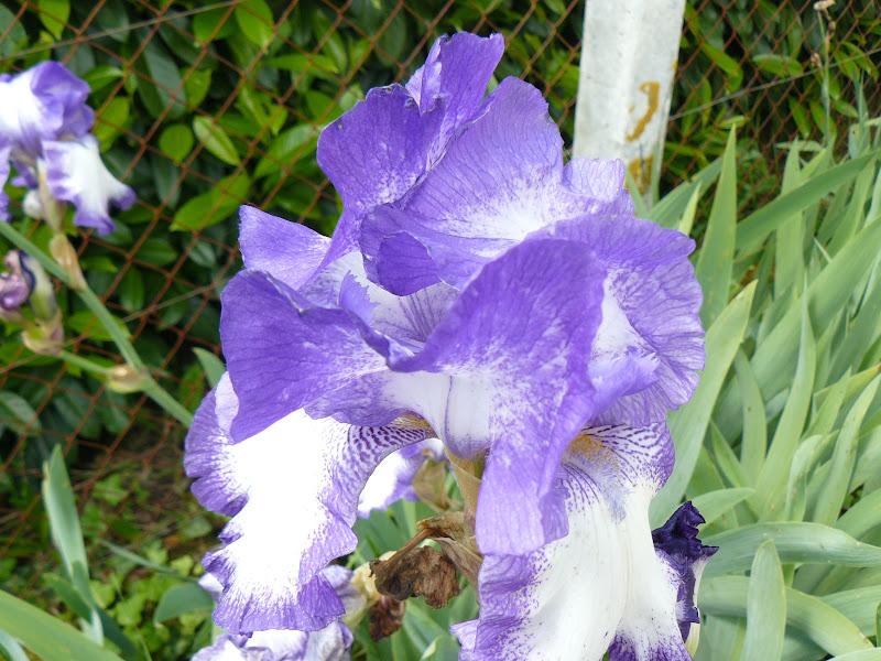 Des floraisons au jardin ... - Page 2 P1030401