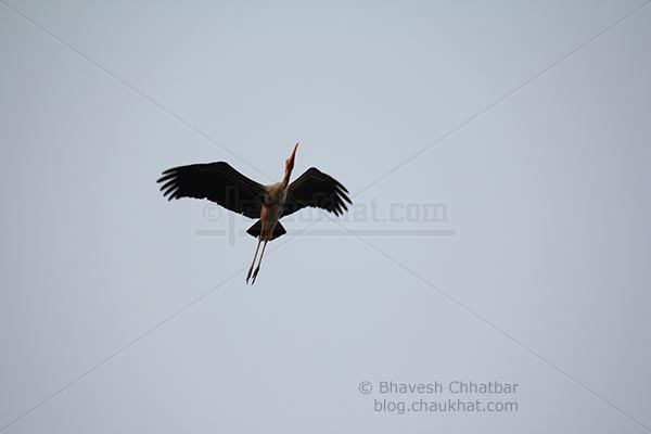 Painted stork flying up