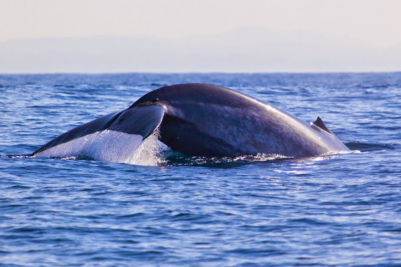 Blue Whale in Weligama Bay