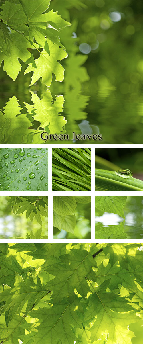 Stock Photo: Green leaves, foliage reflected in water and with dew drops