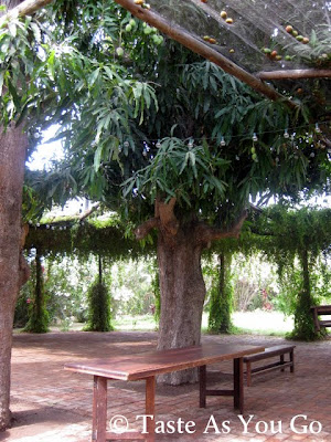 Large Mango Tree in the Event Garden at Los Tamarindos in Los Cabos, Mexico - Photo by Taste As You Go