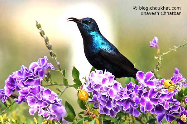 Male Purple Sunbird [Cinnyris asiaticus] chirping on a flowering branch