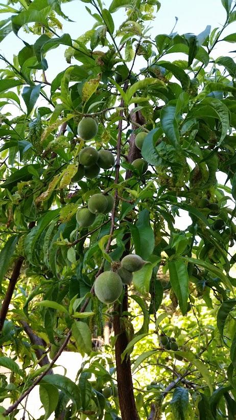 Персики в моем саду