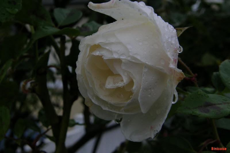 La pluie dans Jardin binicaise PB220012b_redimensionner