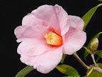 紫をおびた桃色 一重 筒〜ラッパ咲き 葯退化 中輪