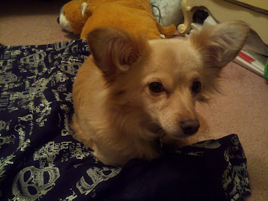 Nephi - the amazing chihuahua helper!