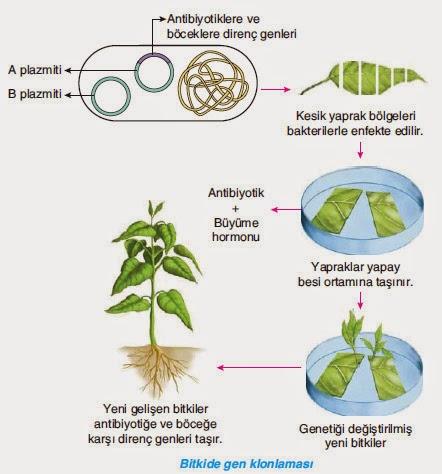 bitkilerde gen klonlama işlemi
