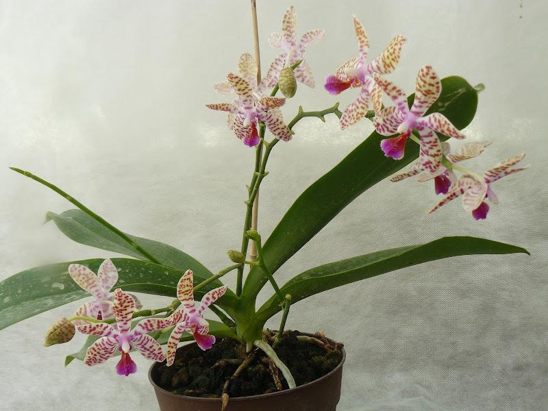Phalaenopsis Sonnentau x mariae P1030012