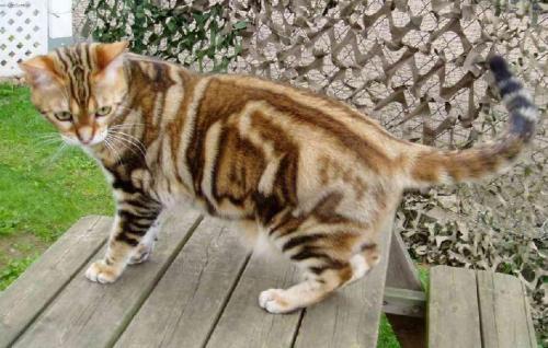 american-shorthair-cat