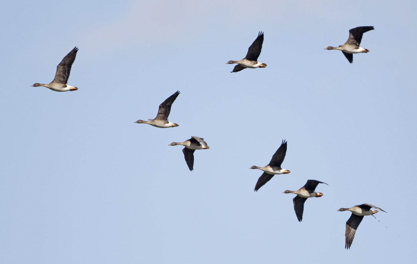 flying geese model essay