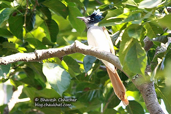Female Asian Paradise Flycatcher in foliage