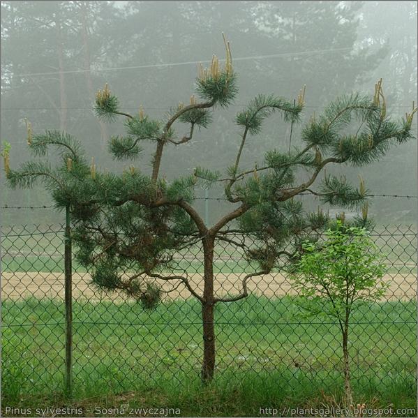 Pinus sylvestris - Sosna zwyczajna pokrój rośliny formowanej